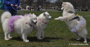 Mom Irish, Sister Charlotte and I were the canine version of Cherry Blossom Princesses